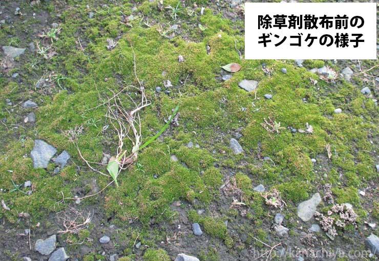 ギンゴケ 除草剤散布前の様子