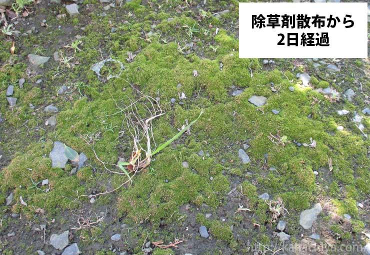 ギンゴケ除草剤を散布してから2日経過