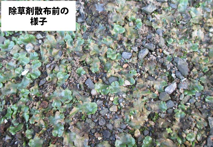 除草剤散布前の様子