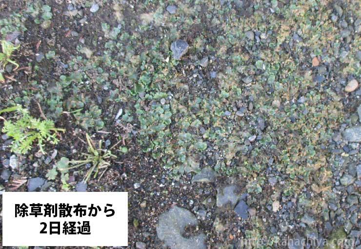 除草剤散布から二日後のゼニゴケの様子