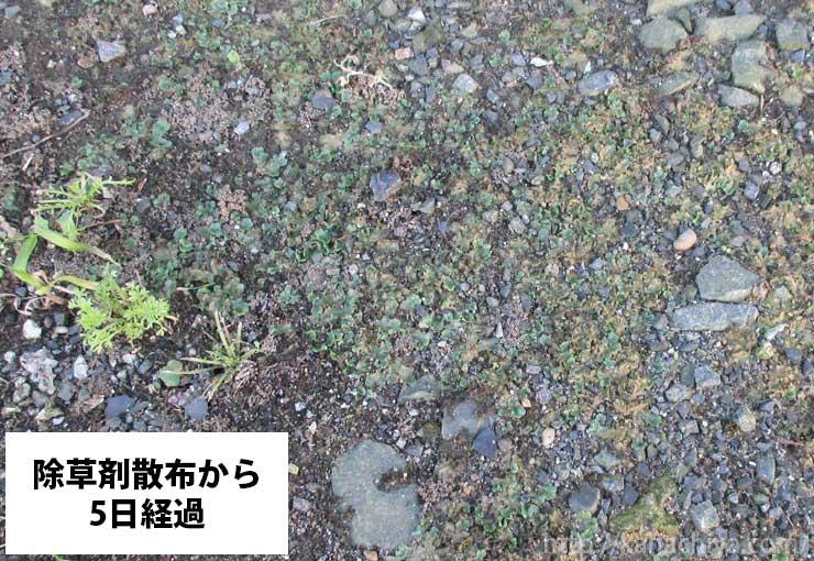 除草剤散布から5日後のゼニゴケの様子