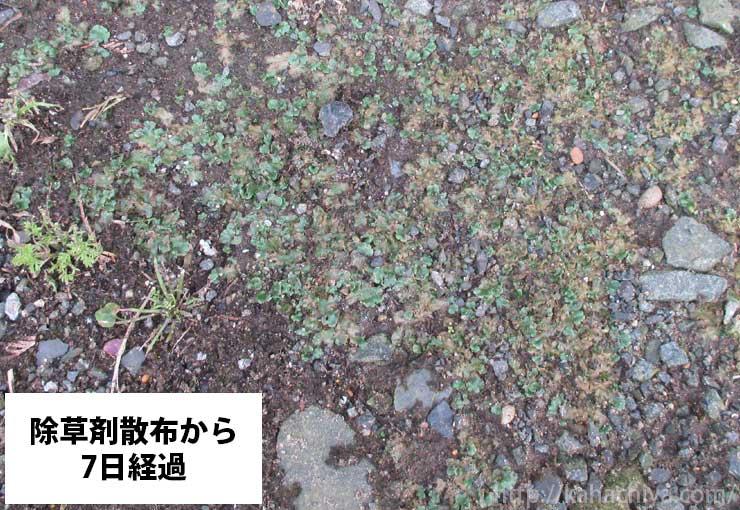 除草剤散布から7日後のゼニゴケの様子