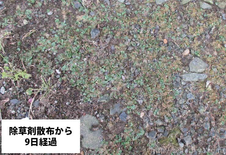 除草剤散布から9日後のゼニゴケの様子