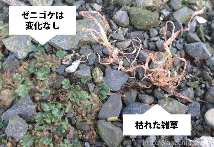 除草剤散布から16日後のゼニゴケの様子
