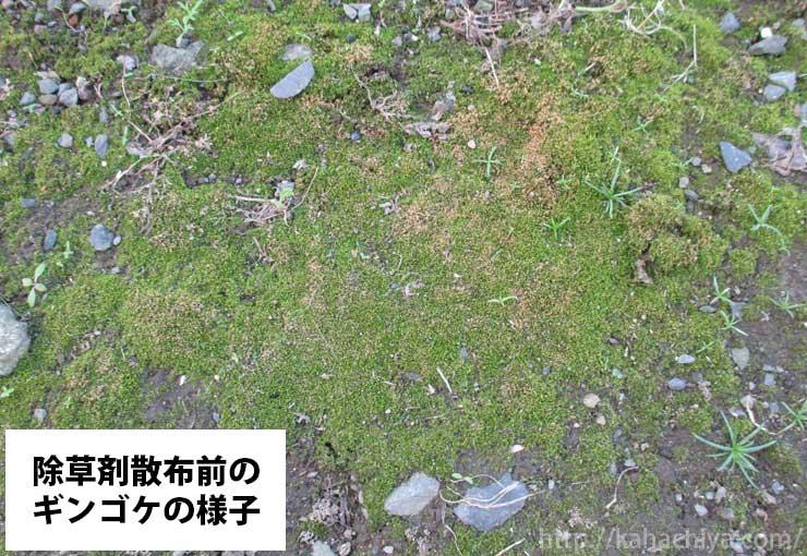 除草剤散布前のギンゴケ