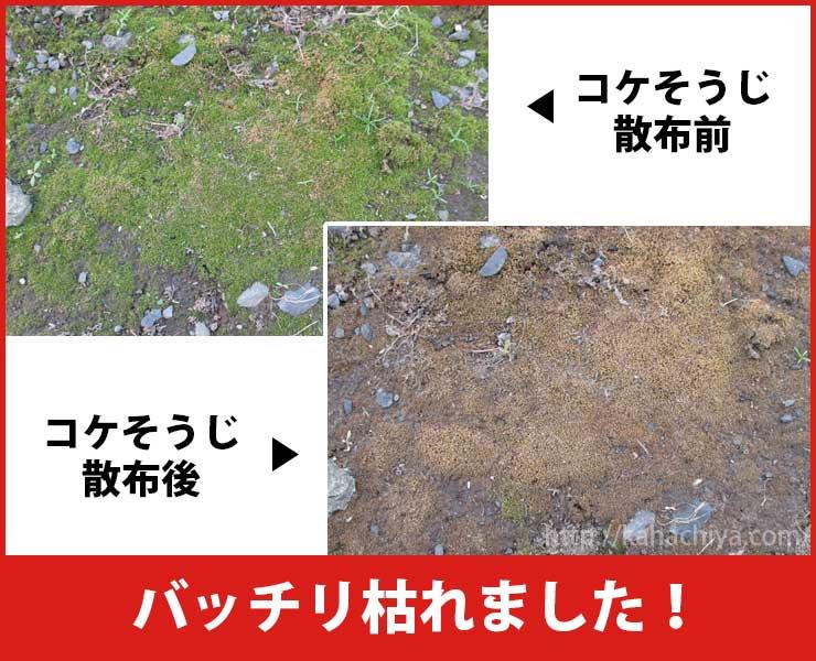 コケそうじ散布前と散布後の比較