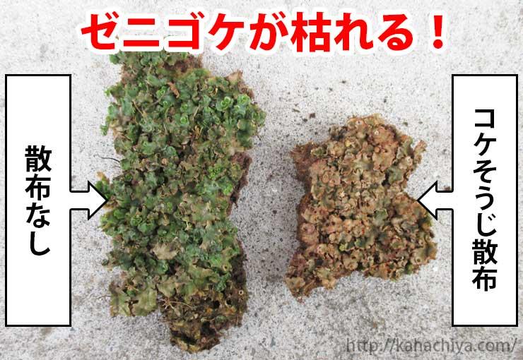 ゼニゴケ駆除剤散布の比較