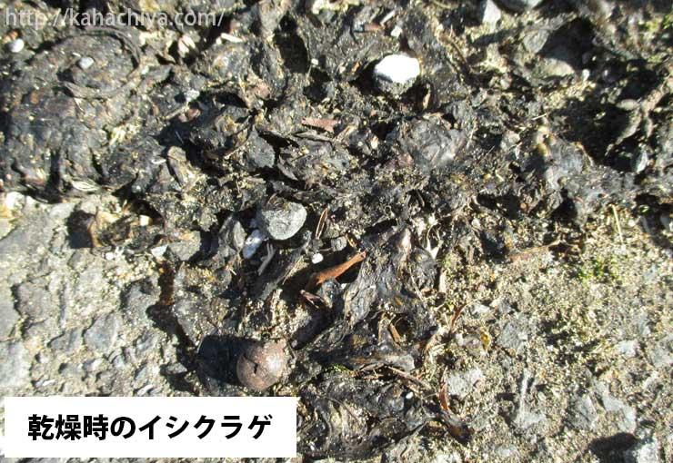 乾燥時のイシクラゲ