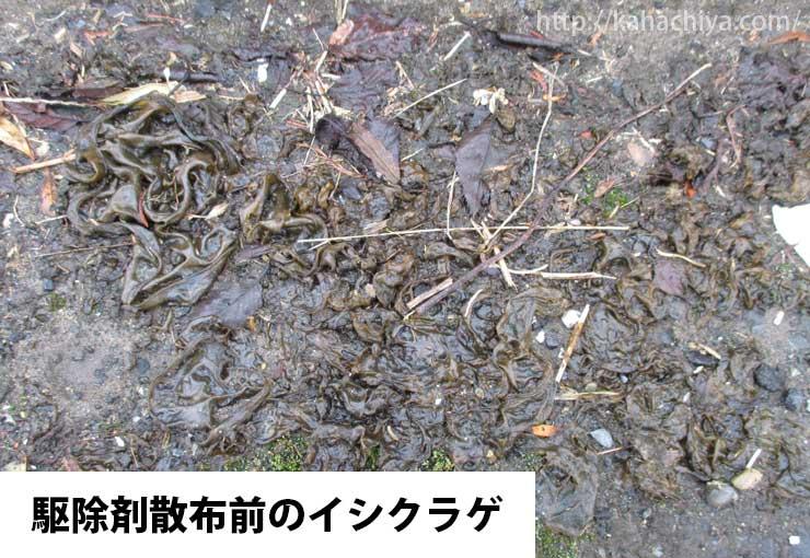 庭に生えていたイシクラゲ