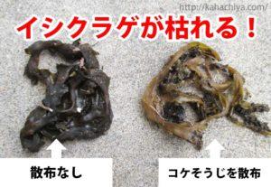 イシクラゲの駆除