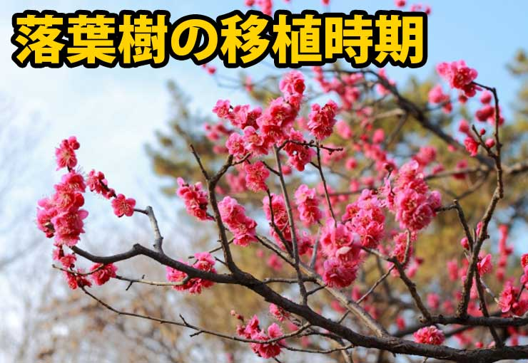 落葉樹の植え替え時期