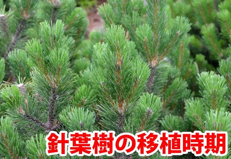針葉樹の植え替え時期