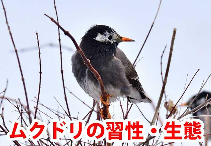 ムクドリの画像 p1_16