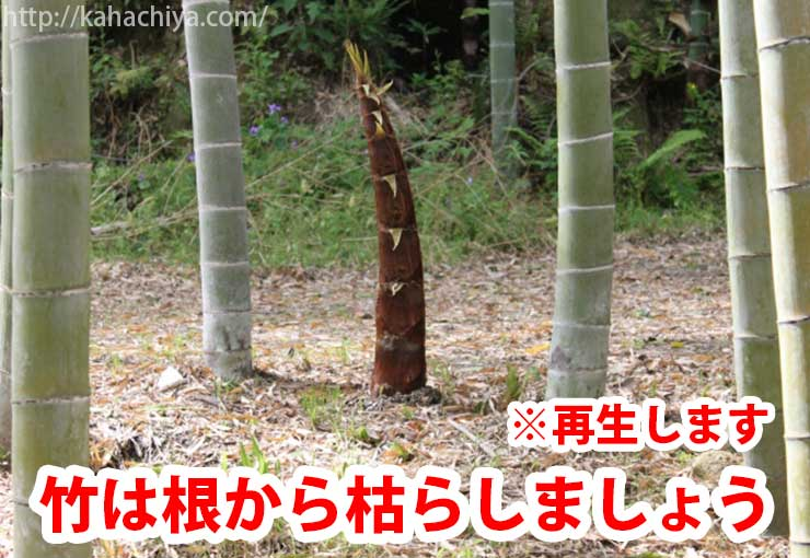 竹は根から枯らしましょう
