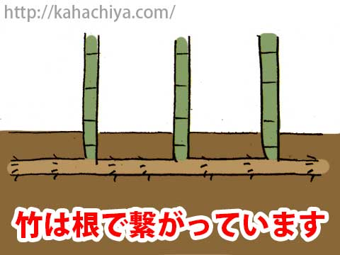 竹は根で繋がっています