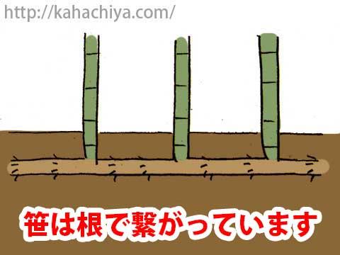 笹は根で繋がっています