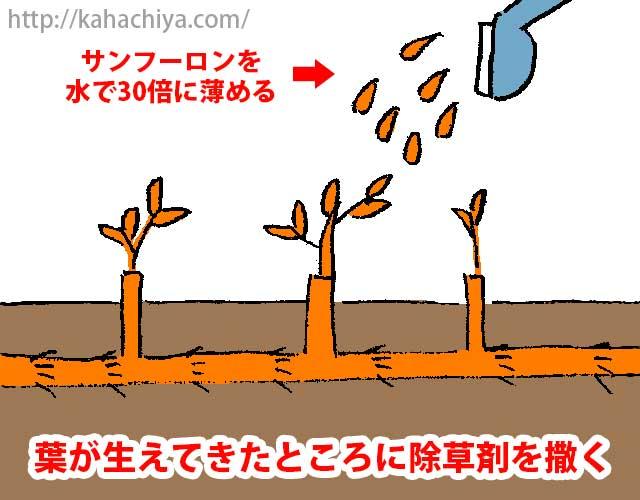葉が生えてきたところに除草剤を撒く