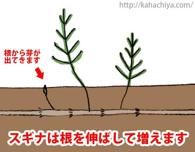 スギナは根を伸ばして増える