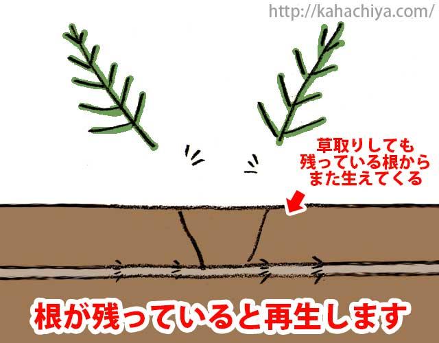 スギナは根から再生する