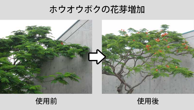 ホウオウボクの使用事例