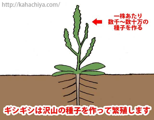 ギシギシは繁殖力が強い
