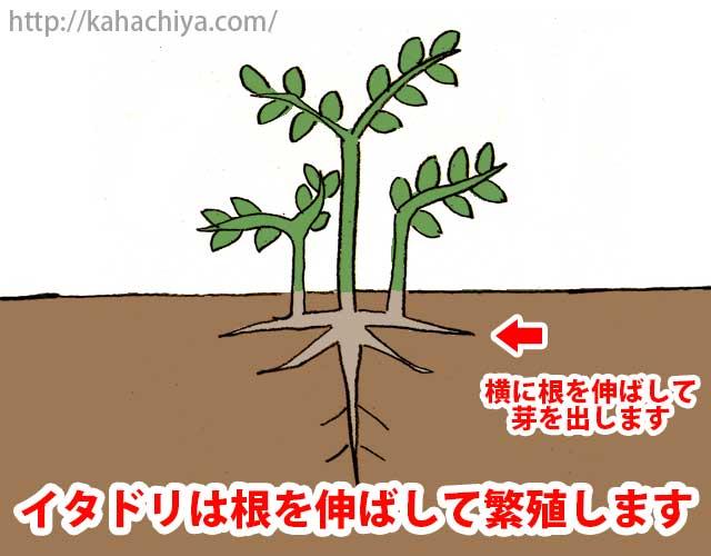 イタドリは根を伸ばして繁殖します