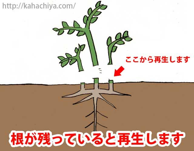 イタドリは根が残っていると再生します