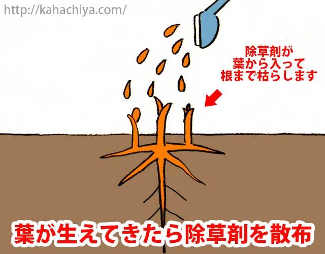 葉が生えてきたら除草剤を散布