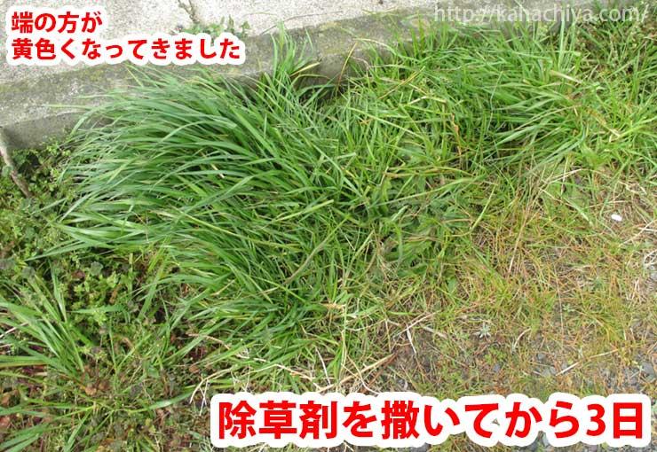 除草剤散布から3日後の様子