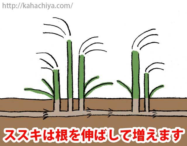 ススキは根を伸ばして増えます
