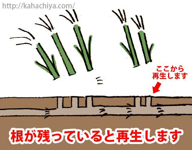 ススキは根が残っていると再生します