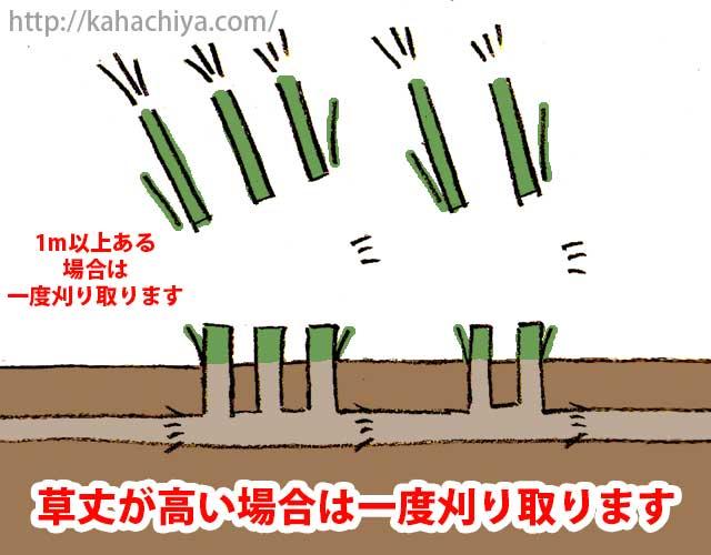 草丈が高い場合は一度刈り取ります