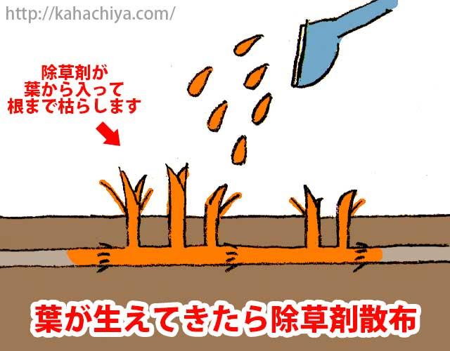 葉が生えてきたら除草剤散布