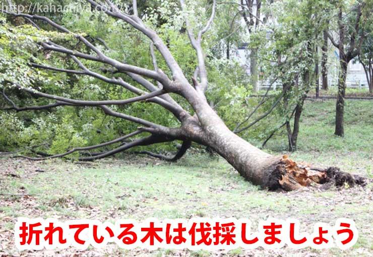 折れている木は伐採します