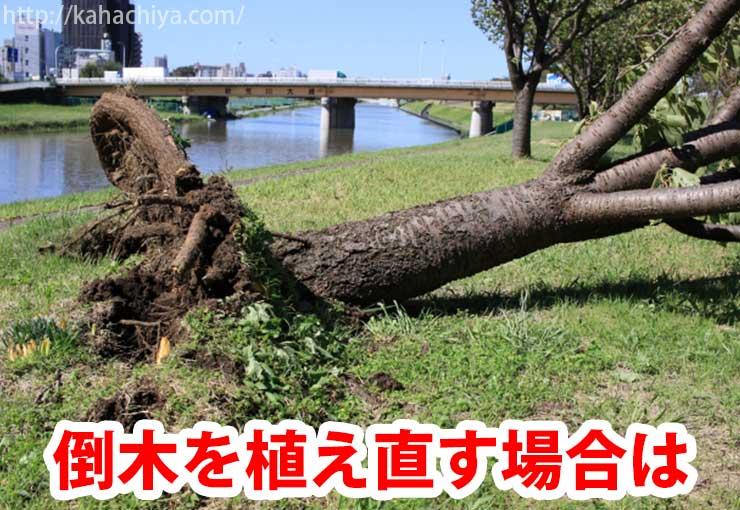 倒木を植え直す場合は