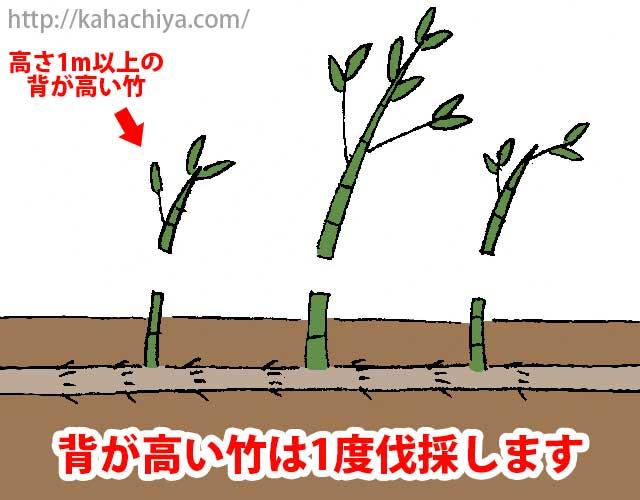 背が高い竹