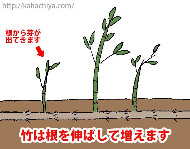 竹は根を伸ばして増える