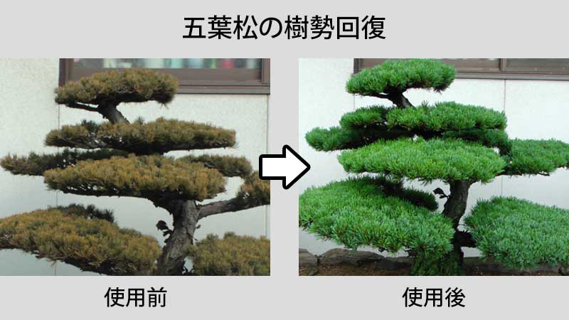 五葉松の樹勢回復