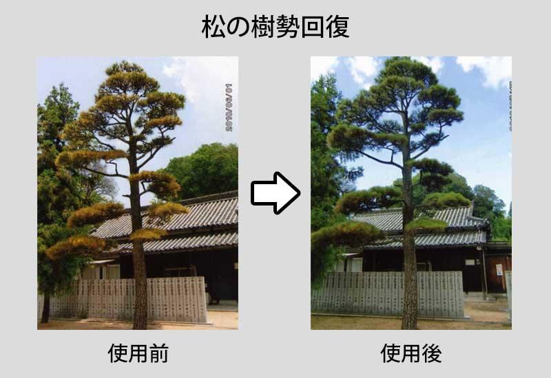松の樹勢回復