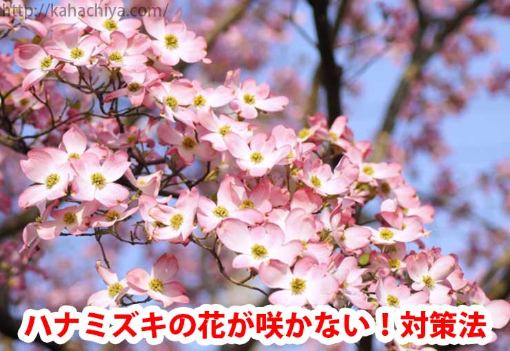 ハナミズキの花が咲かない