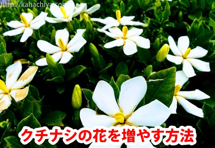 クチナシの花を咲かせる方法