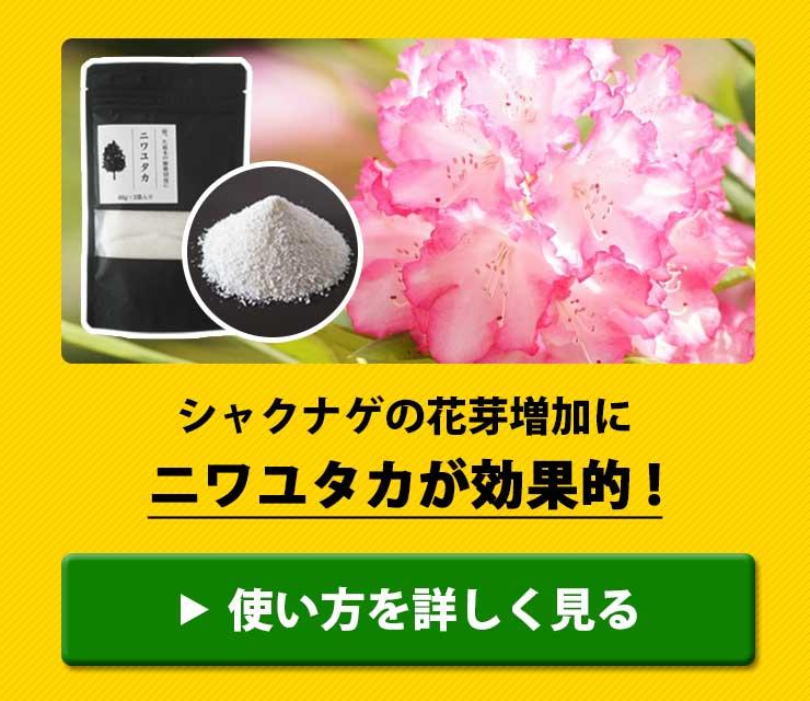 シャクナゲの花芽増加にニワユタカ