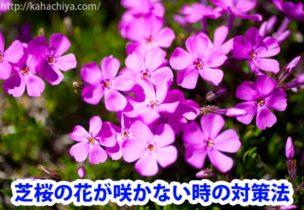 芝桜の花が咲かない時の対策法