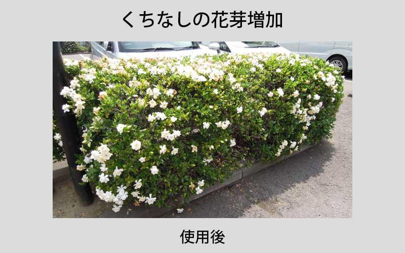 クチナシの花芽増加