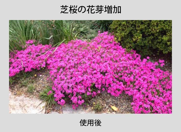 芝桜の使用事例
