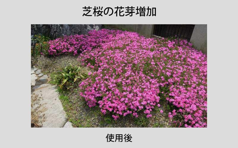 芝桜の花芽増加