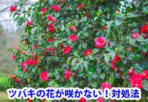 ツバキの花が咲かない