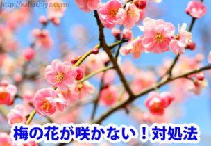 梅の花が咲かない理由
