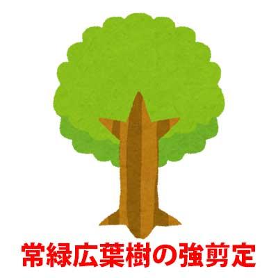 常緑広葉樹の強剪定