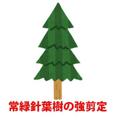 常緑針葉樹の強剪定